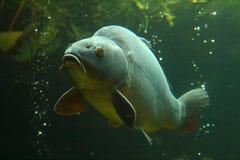 Grote karper onderwater Stock Afbeeldingen