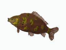 Grote karpervissen stock illustratie