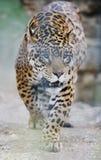 Grote kat Stock Afbeeldingen