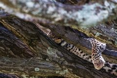 Grote kat na de lunch Serengeti, Afrika Royalty-vrije Stock Afbeelding
