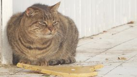 Grote kattenmiauw stock videobeelden