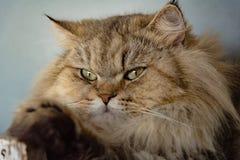 Grote kattenzitting royalty-vrije stock foto's