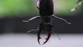 Grote kever die zich aan een tak vastklampen Zeldzame species van kever stock video