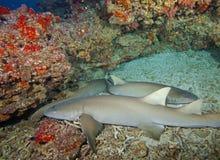 Grote kleine haaien onderwater in de Maldiven, mooie gecreeerd God Royalty-vrije Stock Fotografie