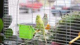 Grote kleurrijke papegaai twee in de witte kooi stock videobeelden