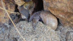 Grote kluizenaarkrab met shell die graven stock video