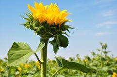 Grote knop bloeiende zonnebloemen op hemelachtergrond Stock Afbeelding