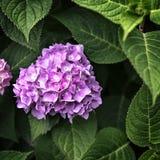 Grote knop roze die bloemen door bladeren worden omringd Royalty-vrije Stock Afbeeldingen