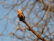 Grote knop van kastanjeboom, de lente Royalty-vrije Stock Foto