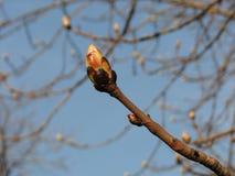 Grote knop van kastanjeboom, de lente Royalty-vrije Stock Foto's