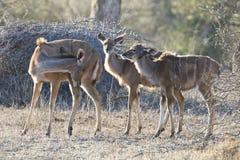 Grote-koedoe, größeres Kudu, Tragelaphus Strepsiceros lizenzfreies stockbild