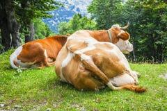 Grote koeien die en op een groen gras leggen rusten royalty-vrije stock afbeeldingen