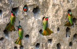 Grote kolonie van de bij-Eters in hun hollen op een kleimuur afrika oeganda stock afbeeldingen