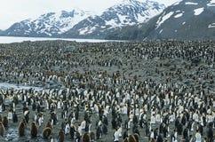 Grote kolonie van Pinguïnen Stock Afbeelding