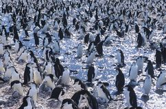 Grote kolonie van Pinguïnen die zich op ijs verzamelen Stock Foto