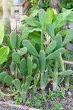 Grote Konijntjesoren, stipcactus of Vijgencactus microdasys royalty-vrije stock afbeeldingen