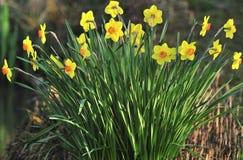 Grote kop hybride Gele narcissen Stock Foto