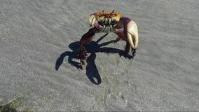 Grote krab met sterke kleuren die zijn scharen opheffen stock footage