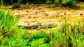 Grote Krokodil langs de oever van de Olifants-Rivier in Kruger-Park royalty-vrije stock afbeelding