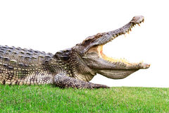 Grote krokodil op groen Stock Afbeelding