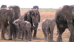 Grote kudde van Afrikaanse olifanten die op de savanne lopen stock footage