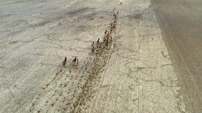 Grote kudde van deers die op gebied, satellietbeeld lopen Vlucht over wilde dieren stock video