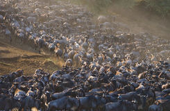 Grote kudde van het meest wildebeest in de savanne Grote migratie kenia tanzania Masai Mara National Park Royalty-vrije Stock Afbeeldingen