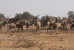 Grote kudde van Kudu bij waterhole Royalty-vrije Stock Foto