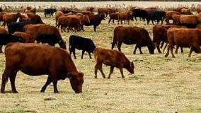 Grote kudde van slachtvee het weiden in weiland Koeien, stieren, kalveren samen in paddock stock videobeelden