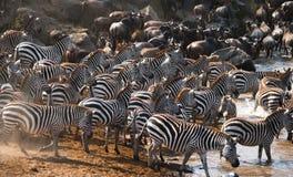 Grote kudde van zebras die zich voor de rivier bevinden kenia tanzania Nationaal Park serengeti Maasai Mara stock foto