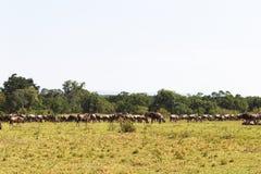 Grote kudden van het meest wildebeest op eindeloze savanne Masai Mara, Kenia Stock Fotografie