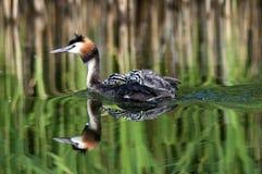 Grote kuiffuutvlotters met kleine vogels op rug Royalty-vrije Stock Afbeelding