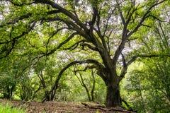 Grote kust levende eiken boom die schaduw, San Jose, baaigebied de Zuid- van San Francisco, Californië verstrekken stock afbeeldingen