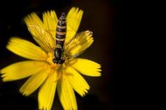 Grote Langlijf som är lång hoverfly, Sphaerophoria scripta fotografering för bildbyråer