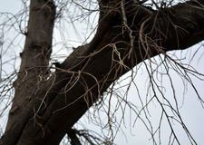 Grote leafless boom Royalty-vrije Stock Afbeeldingen
