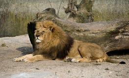 Grote leeuw Stock Foto's