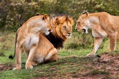 Grote Leeuwen in Masai Mara Stock Afbeeldingen