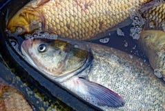 Grote levende witte vissen in verontruste wateren Stock Foto