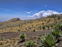Grote Lobelia, Lobelia-rhynchopetalum in Simien-Bergen Nationaal Park in Ethiopi? royalty-vrije stock foto's