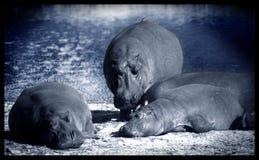 Grote luie hippo stock foto's