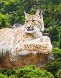 Grote lynx Royalty-vrije Stock Afbeelding