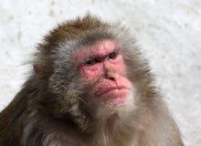 Grote macaqueaap Royalty-vrije Stock Afbeelding