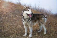 Grote Malamute die Van Alaska zich op een grond bevinden en net met uit tong kijken De vroege lente of daling royalty-vrije stock fotografie