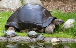 Grote mamma'sschildpad Stock Foto