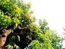Grote Mangoboom Royalty-vrije Stock Foto