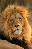 Grote mannelijke Afrikaanse leeuw Stock Afbeelding