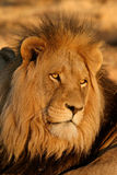 Grote mannelijke Afrikaanse leeuw stock fotografie