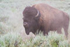 Grote mannelijke bizon stock foto's