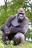 Grote mannelijke gorilla Royalty-vrije Stock Afbeelding