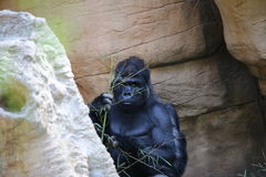 Grote Mannelijke Gorilla Stock Afbeeldingen